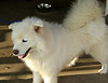 Graham, during his stay with North Texas Samoyed Rescue.