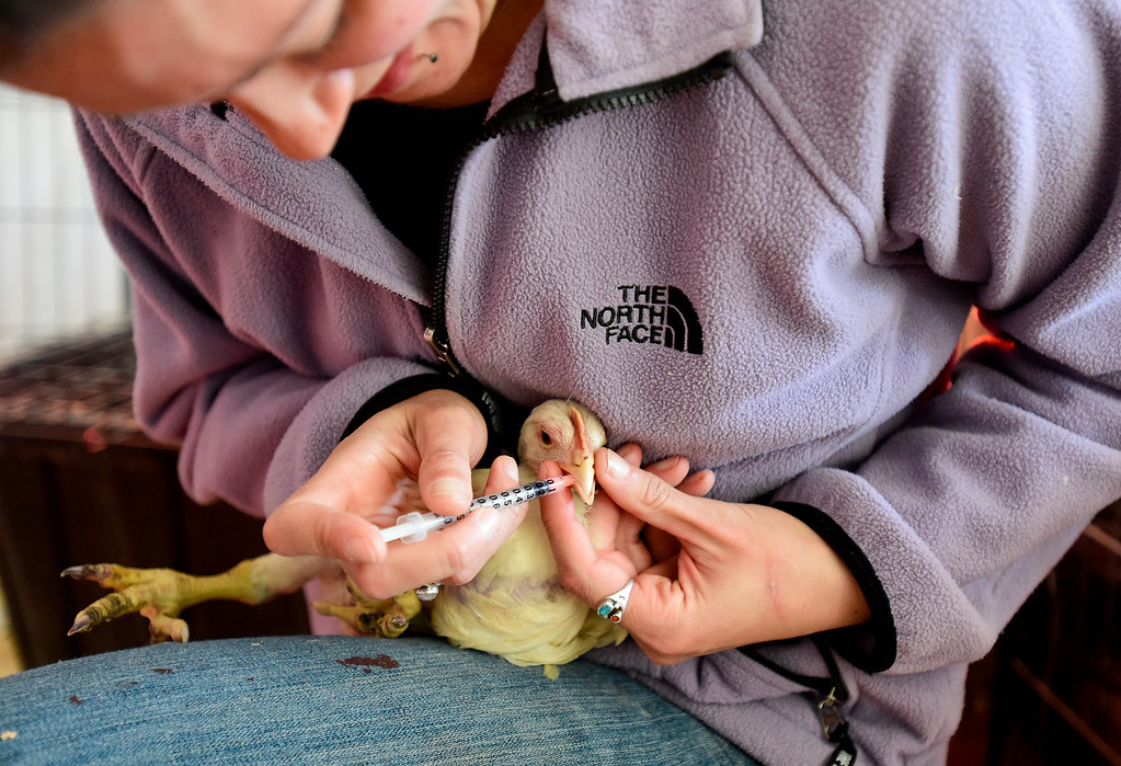 . ERIE, CO - JANUARY 14:Thera Irlbeck, an animal caregiver at Luvin Arms animal sanctuary, gives medicine to a chicken named Wendy in Erie on Jan. 14, 2019.  (Photo by Matthew Jonas/Staff Photographer)