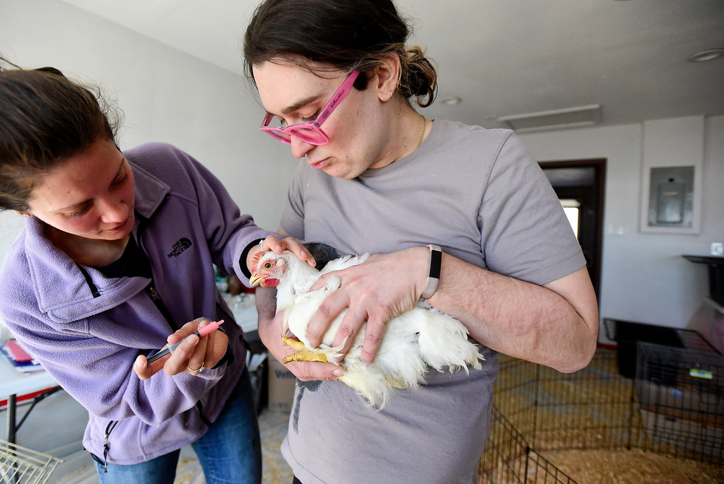 . ERIE, CO - JANUARY 14:Animal Caregiver Thera Irlbeck, left, gives medicine to a chicken named Winter held by Animal Caregiver Willow Alexis Mercurio, right, at Luvin Arms animal sanctuary on Jan. 14, 2019. Winter has severe frost bite and may lose toes as a result. (Photo by Matthew Jonas/Staff Photographer)