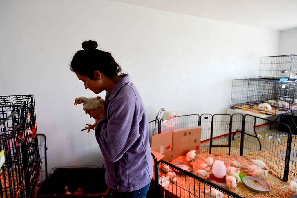 . ERIE, CO - JANUARY 14:Thera Irlbeck, an animal caregiver at Luvin Arms animal sanctuary, puts a chicken named Wendy back into a cage after giving it medicine in Erie on Jan. 14, 2019. The visitor center has been temporarily transformed into a barn for the chickens that were in the worst condition. (Photo by Matthew Jonas/Staff Photographer)