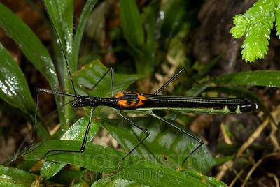 Pseudophasmatidae, Acanthometriotes sp.
