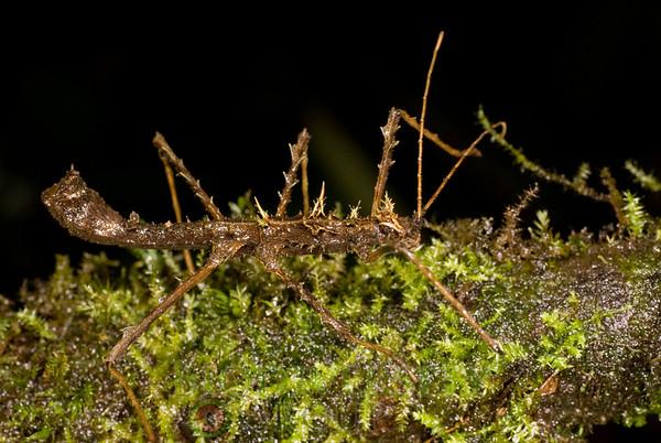 Pseudophasmatidae, Acanthodonia sp.