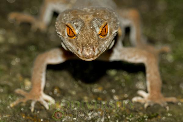 Lichtenfelder's Gecko  (Goniurosaurus lichtenfelderi)