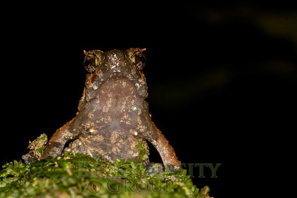 A mountains toad (Ophryophryne  sp.) gives some great poses. Photo by Ross Maynard.