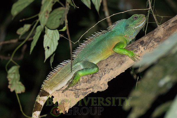 Pets just aren't the same, are they? Chinese Water Dragons (Physignathus cocincinus) are common in several of our Vietnamese study sites.