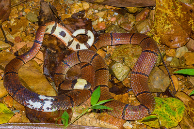 You think coral snakes are just in the Americas? MacClelland's Coral Snake (Sinomicrurus macclellandi) is found on our study sites in Vietnam. We do not know its conservation status and hope to contribute to knowledge about how to keep (or get) its populations at healthy levels. Photo by Ross Maynard.