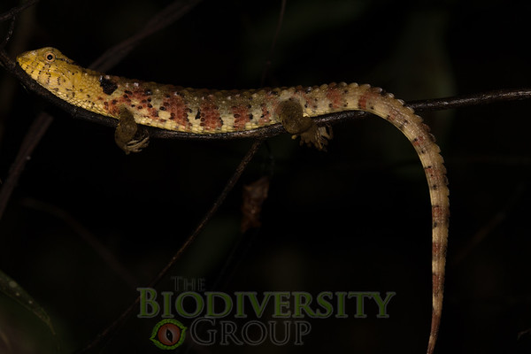 We are some of the very few people in the world who have seen the Chinese Crocodile Lizard (Shinisaurus crocodilurus), much less in Yen Tu National Park in Vietnam, the only place it is found outside of China, where a small remnant population still survives.