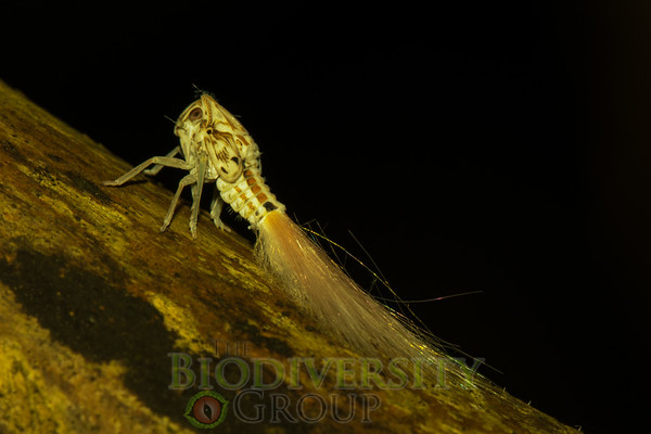 One of the cool invertebrates we found--this one a homopteran larvae (relative of cicadas).