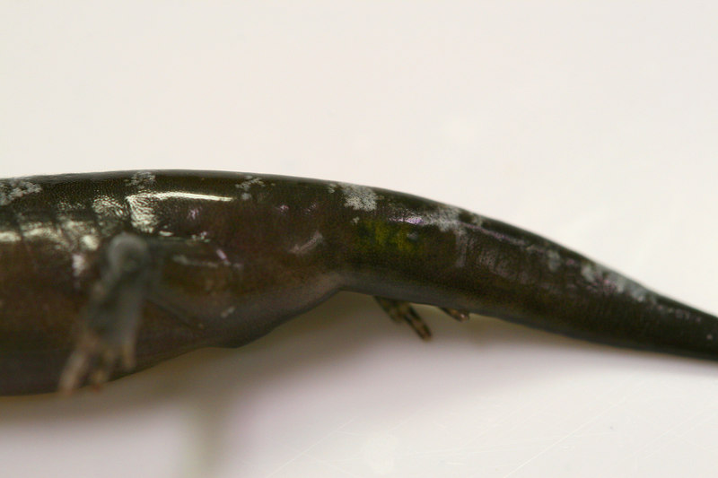 Alpha-numeric tags implanted in metamorph opacum salamanders. Alpha-numeric tags implanted in metamorph opacum salamanders.