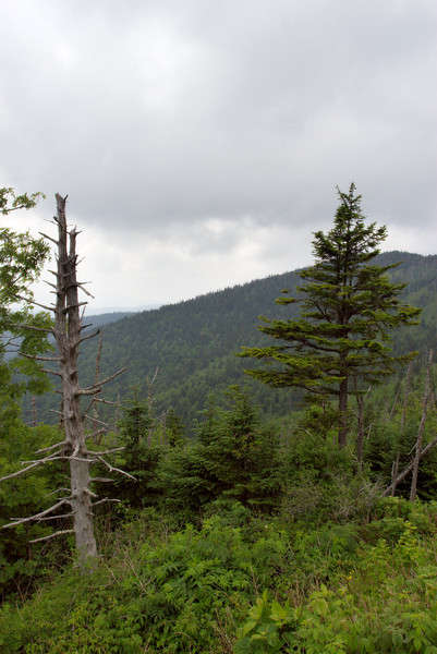 Unfortunately these forests are suffering due to an invasive insect: the adelgid.  You can see how many trees have already been killed.