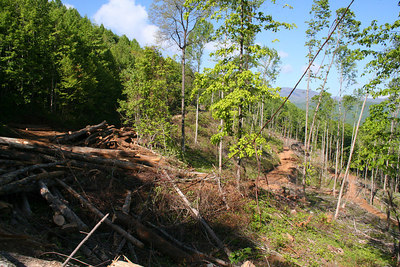 Trees ready for removal from clear cut site