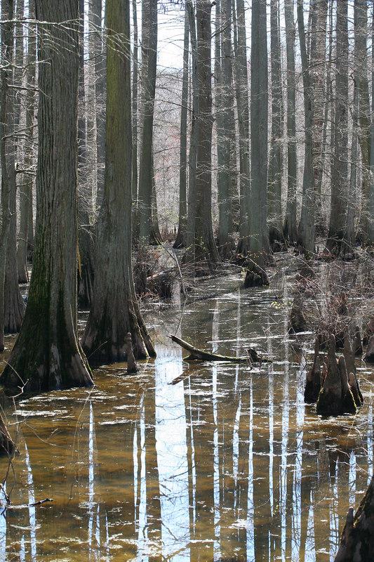 Bald cypress-Tupelo Swamp--Johnson Co, Ill
