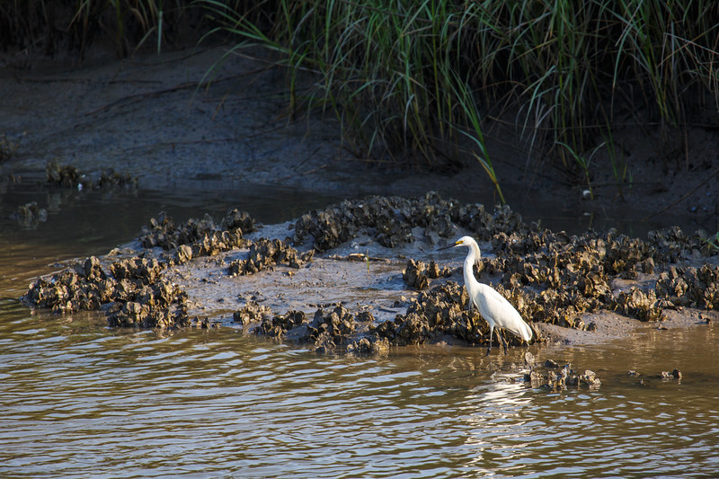 Egret feeding on marsh edge
