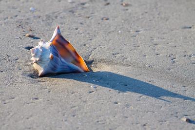 Whelk on beach
