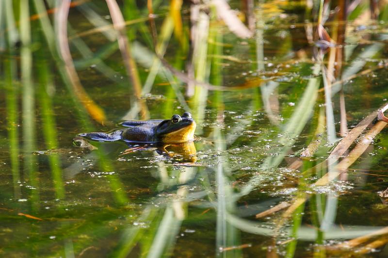 Pig frog (Rana grylio)