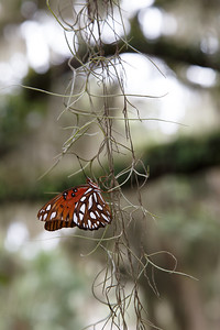 Butterfly on Spanish Moss