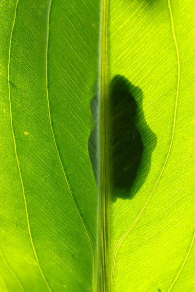 Green treefrog silhouette