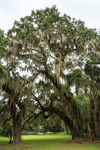 Live oaks on Sapelo Island