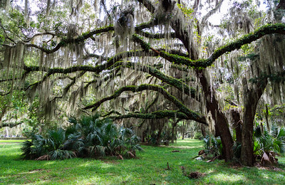 Live oaks on Sapelo Island