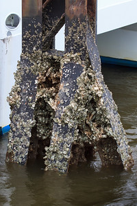 Barnacle fouling