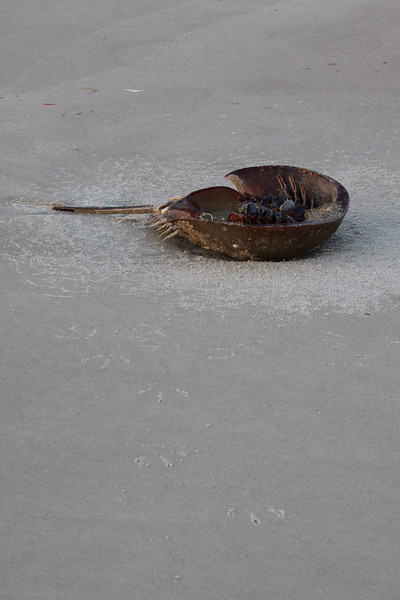 Stranded horseshoe crab