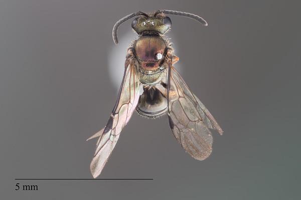 Homalictus ostridorsum male