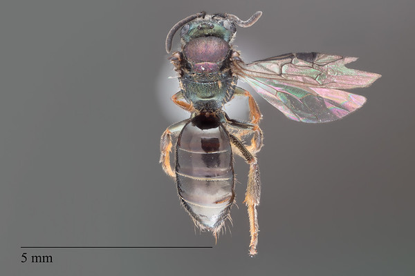 Homalictus ostridorsum female
