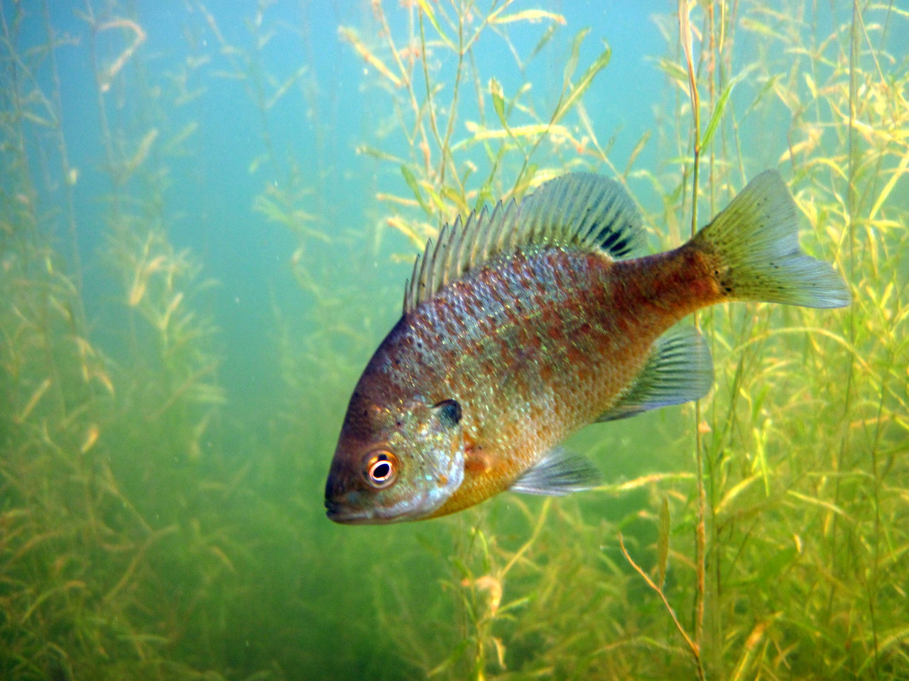Researchers think sunfish species (like bluegill) are helping keep rusty crayfish populations in check by feeding heavily on the larvae of the invader.