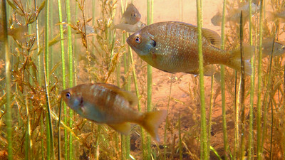 Once thought to be nearly gone from the lake, bluegill now drift among the macrophytes on the lookout for aquatic insects to eat and fish (like smallmouth bass) to avoid.