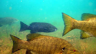 Today, schools of bass still thrive in the lake, but the addition of habitat via the regrowth of aquatic plants has allowed sunfish populations to coexist with their predators.