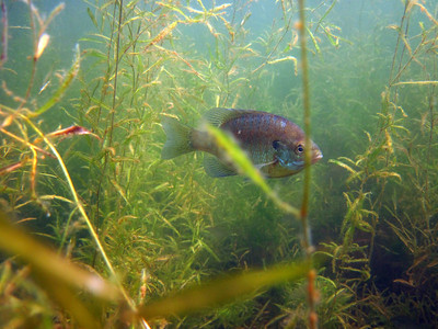 """A bluegill hangs out in the underwater """"forest."""""""