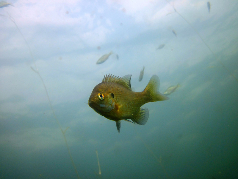 Today, bluegill like this adult and the young fish swimming in the background are thriving once again.