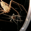 Real-time attack on a spider. The sequence begins when the spider has already spit once; in the ensuing video there are three more spit episodes, each one happening so quickly that only the newly deposited spit shows that the episode happened.