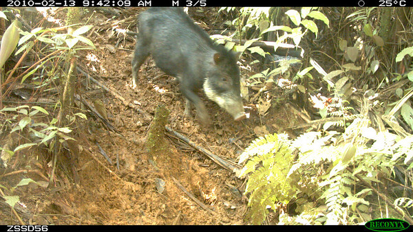 "AABP Updates from the Field: Camera ""Traps"" in Peru"