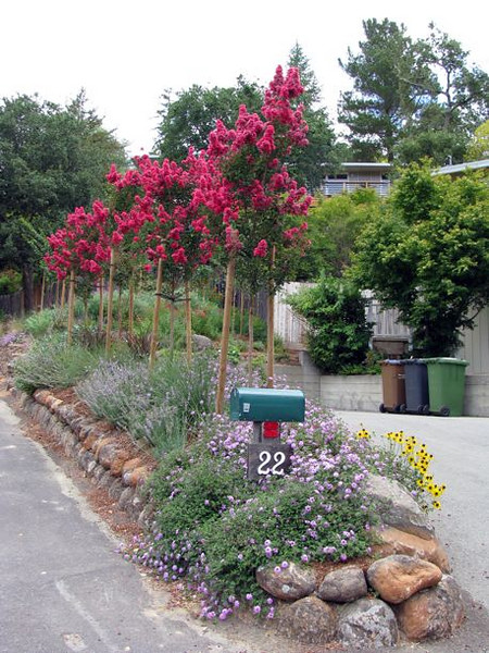 The crape myrtles and mediterranean plants in their first season of growth.