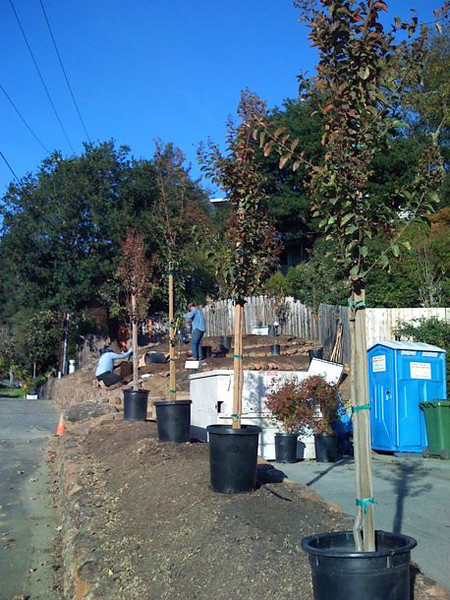 New crape myrtle trees await planting in this full berm of amended soil.