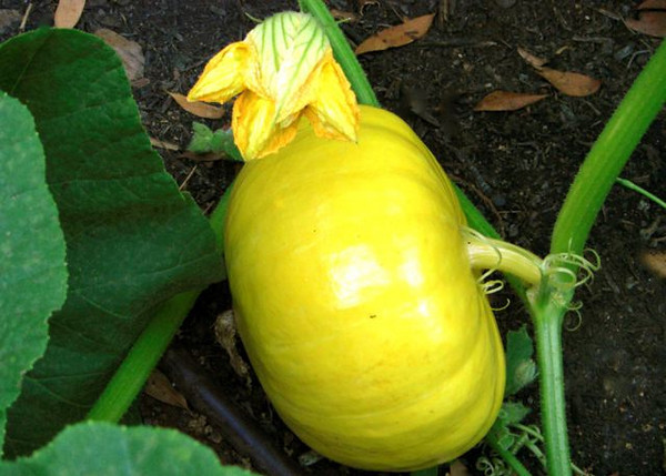 A young squash and a new one that just flowered.