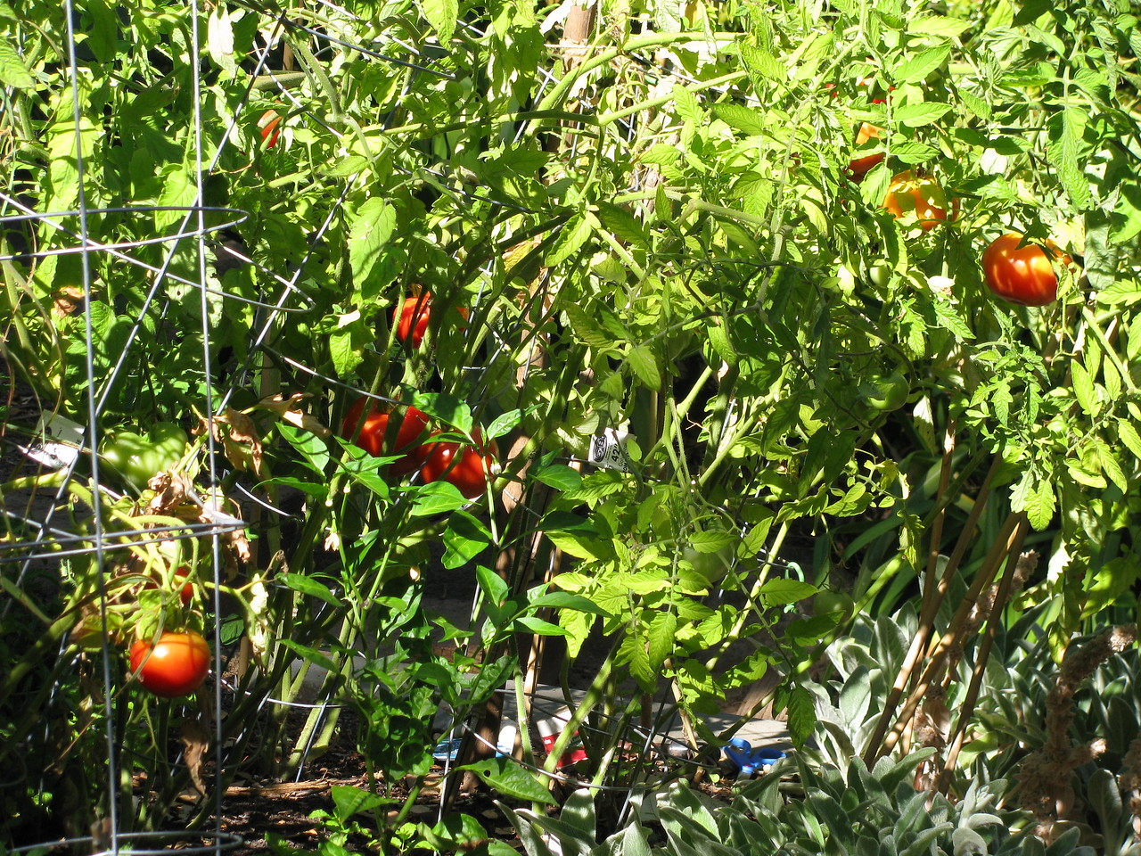Ah, some of those tomatoes look ready to pick!