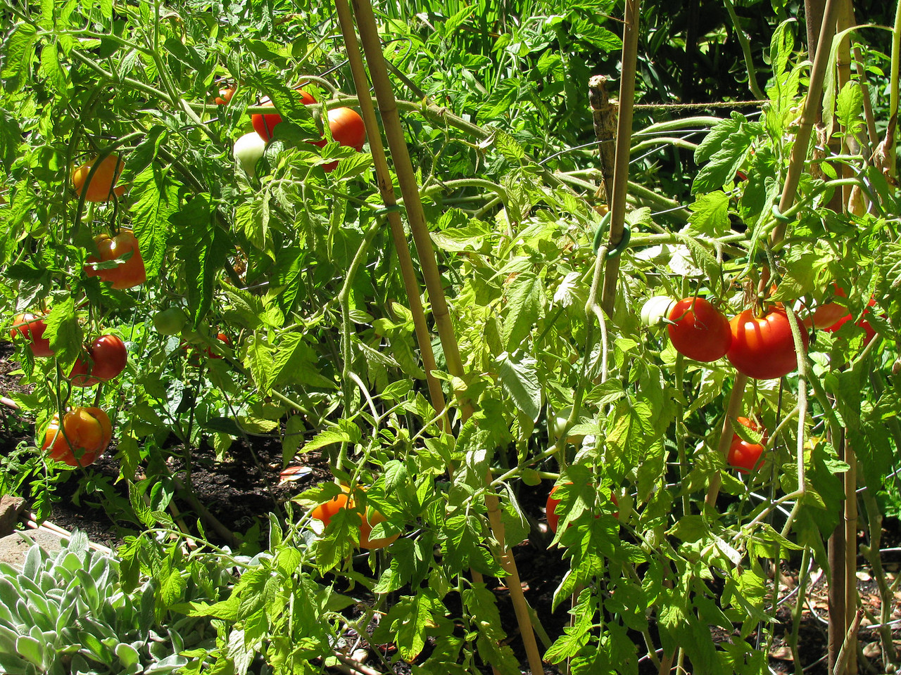 More tomatoes!