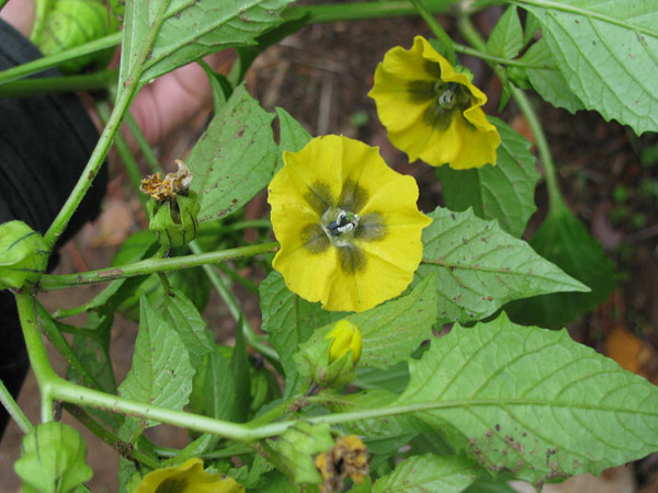 Tomatilla flowers in the summer...they'll become green tomatoes that are great in salsa verde and green enchilada sauce.