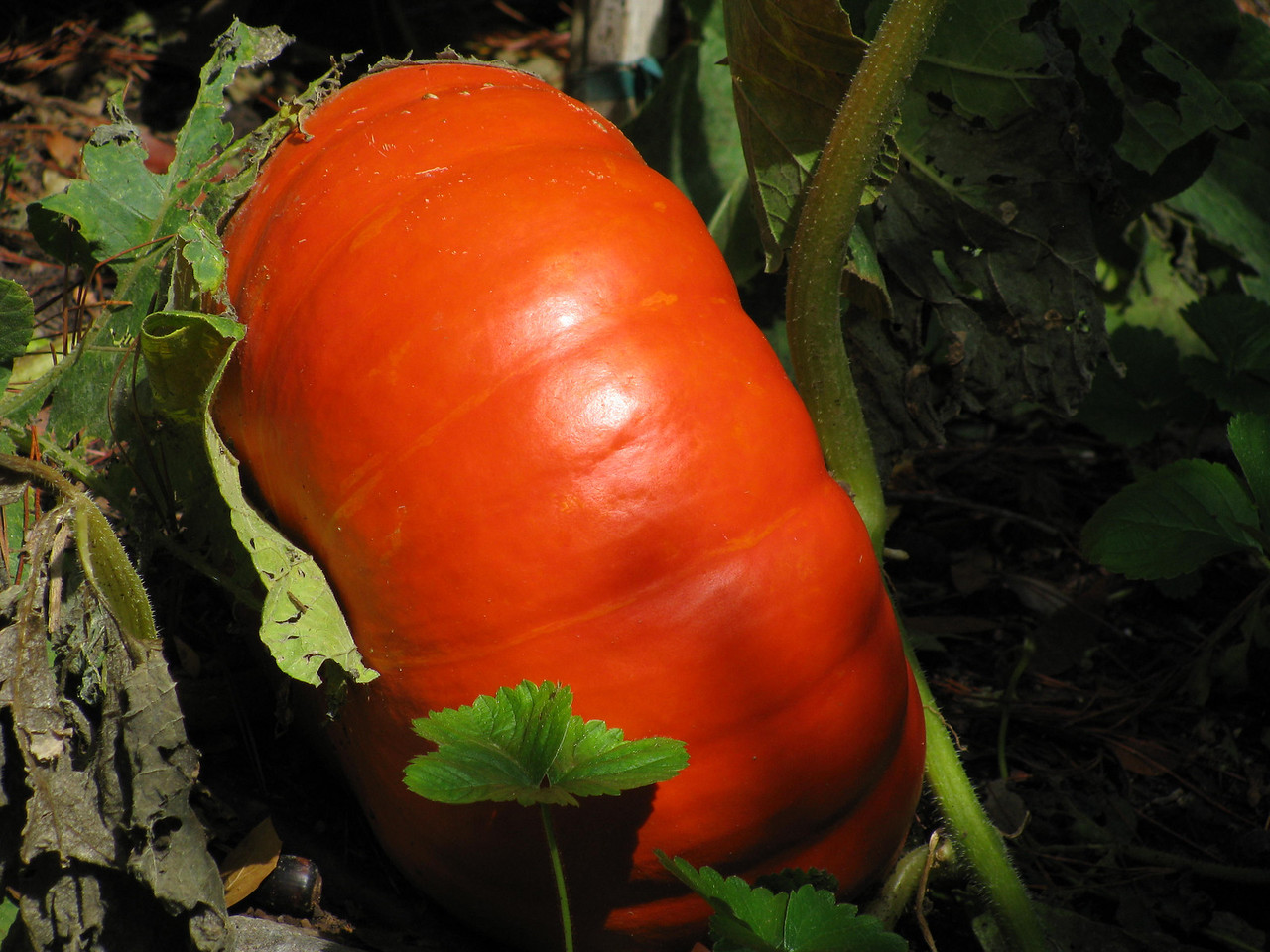 A beautiful ornamental and edible pumpkin.