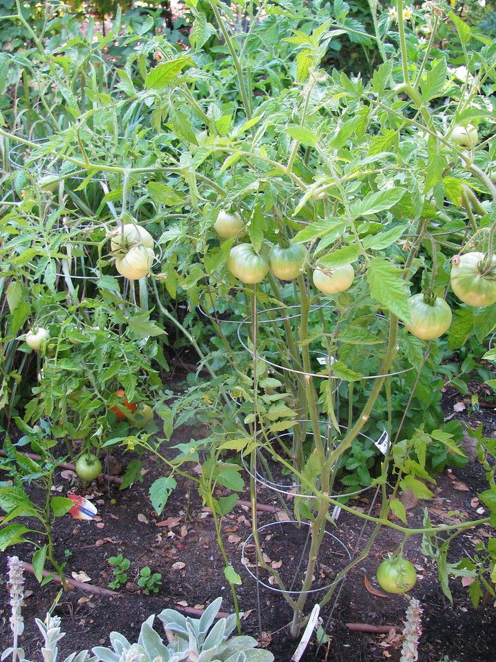 Early tomatoes.