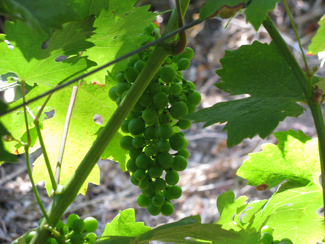 Grapes for eating or wine making.