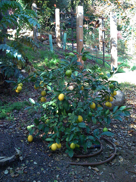 Plentiful lemons on a young Meyer Lemon tree with drip irrigation.