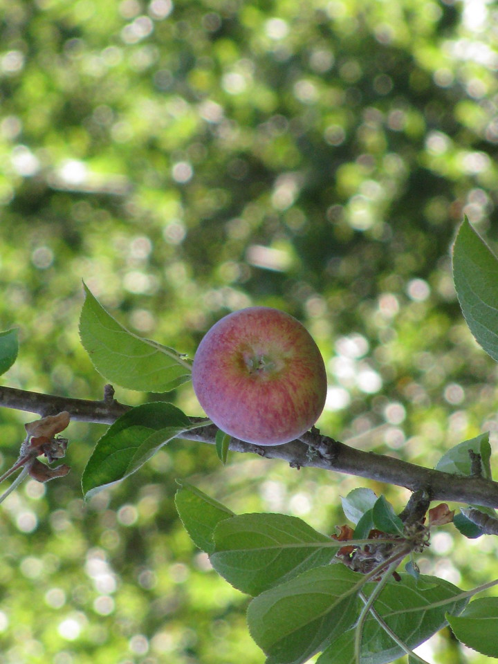 A single apple is ready to pick.