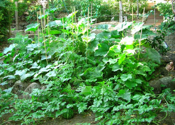 The squash and cucumbers are growing prolifically now.