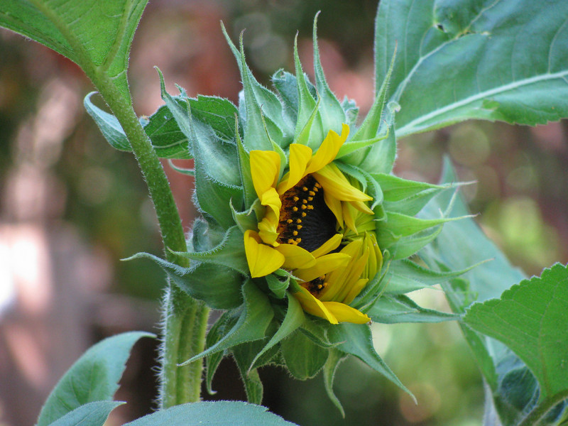 The first sunflower of the season just opening.