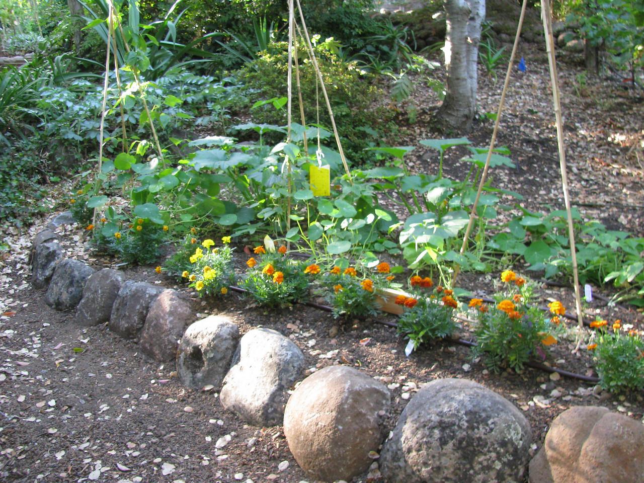 Beans, squash, marigolds, and nasturtium.