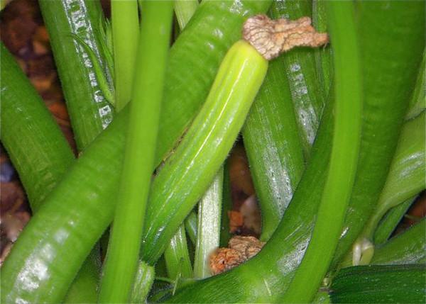 Young zucchini.