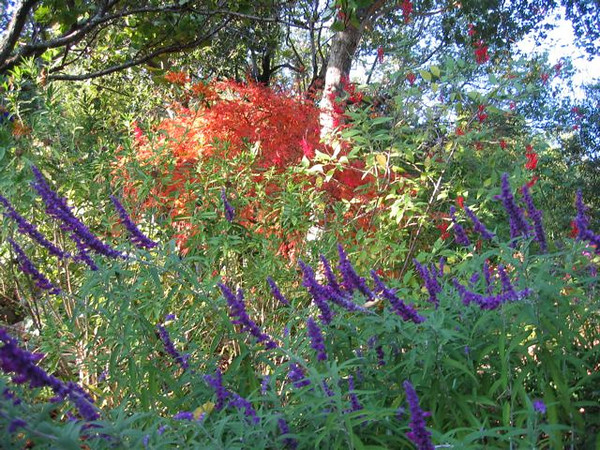 Hummingbirds and bees love the Mexican Sage.  Birds eat the Toyon berries.  We love the colors, textures, and wildlife.